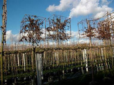 Online veiling Boomkwekerij En Containerteelt Van Garderen - Tree Nursery And Container Cultivation (Bomen) te Dodewaard