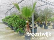 86. Palmboom (Washingtonia Robusta)